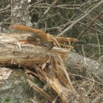 A squirrel races across a log behind the bunkhouse.