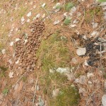 On a hike through the woods, the difference between moose (left) and deer (right) droppings is quickly apparent.