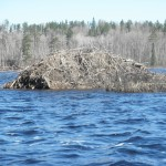One of the many beaver lodges we encountered on the Waters.  This one was possibly the largest.