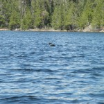 A loon bobs up and down on Little Shell Lake.