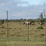 Rhinos in Ol Pejeta Conservancy