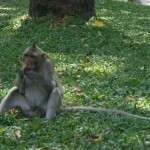 Monkey at Wat Phnom