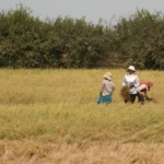 Harvesting rice near Annalisa and Julian's