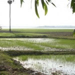 Rice fields near Annie