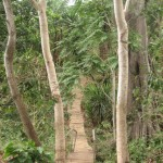 A trail made of coffee branches at Gaia Estate