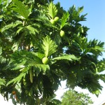 A breadfruit tree, a regional fruit used in many dishes