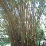 bamboo growing on Vicente's farm