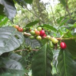 ripening coffee beans