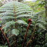 Monkey-tail ferns can grow to 300 years old