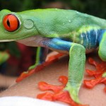 What the red-eyed frog looks like when awake