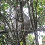 A sloth hides in the branches