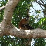 On one of the other islands was a group of 3-4 spider monkeys.