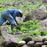 Teodoro has to plant his beans among lots of rocks, but he says the soil is very good.