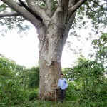 The guanacaste tree is also a big shade tree popular on coffee farms.