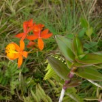 Another type of orchid found abundantly on Mombacho