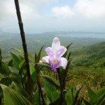 An example of the second-largest orchid species in the world.