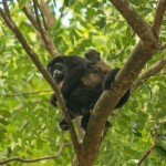 A howler monkey and its baby