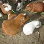 Cuy (guinea pigs) share the living space in this one-room home