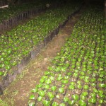 Coffee seedlings ready for planting once the rains begin