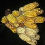 Corn originated in the Americas