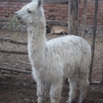 Alpacas are prized for their wool as well as their meat