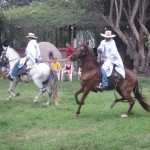 These horses are bred and trained for a smooth ride