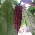 Cacao bean pod (the key raw ingredient for chocolate)
