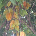 Carambola (star fruit)