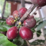 "Coffee ""cherries"" (the red fruit encases the coffee bean)"