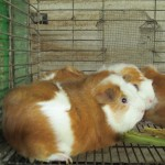 Cuy, guinea pigs, are raised for protein