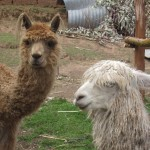 Llama (left) and alpaca (right)