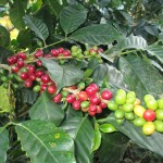 "Coffee beans (""cherries"")"