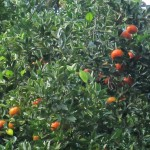 The family lives on an orange grove