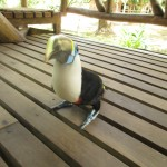 A toucan visits our cabana