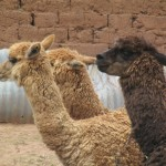 Llamas - the wool from this relative of the camel is incredibly soft and warm