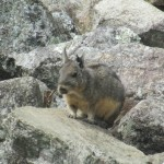 Vizcacha (relative of the chinchilla)