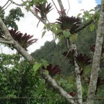 Bromeliads grow on a host tree