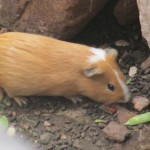 Cuy (guinea pig) are raised in a pen under her room