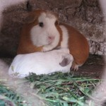 Two of the family's cuys (guinea pigs)