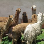 Alpacas are raised for their wool and meat -- their cousin, the llama, is larger, stronger and fit for carrying heavy loads