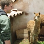 Alpacas are one of four camelids native to South America -- the others are the llama, vicuña and huanaco