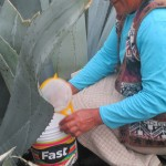 She bore a hole in the heart of this native paccpa (blue agave) to extract its juice