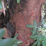 A closer look at the trunk of the Quinua tree