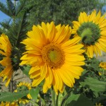 Sunflowers thrive here in the midsummer sun