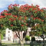 Tree in bloom at the Parque Principal