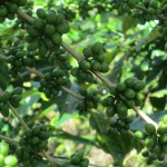 Coffee beans grow on bushes like these -- when they turn red they are ready for picking