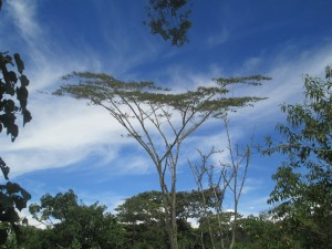 A shade tree growing on a coffee plantation in Chanchamayo Province