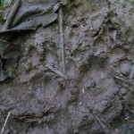 The track of a tigrillo (ocelot) on the heals of a huanta (wild pig)