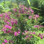Bouganvilla grows in the yard