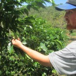 Examining the coffee plants